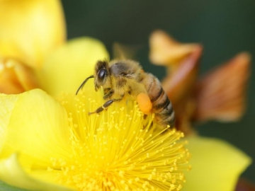 <p>Honeybee near the Student Center. Photo by Yumiko Sakurai</p>